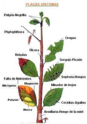 síntomas de las plantas